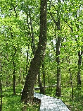 Big Oak Tree State Park Boardwalk.JPG