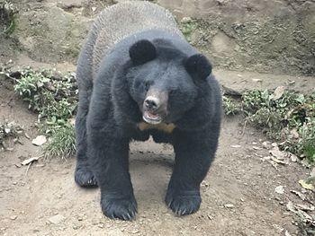 Big black bear.jpg