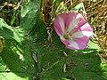Bindweed (Convolvulus arvensis) - geograph.org.uk - 901884.jpg