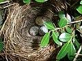 Bird Nest (3600492937).jpg