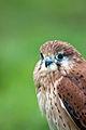 Bird of Prey (4778965409).jpg