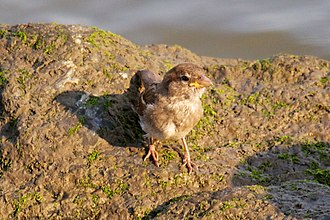 A juvenile house sparrow by the Hudson River Bird on the bank of the Hudson River 1.jpg