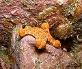 Biscuit Starfish (4416470688).jpg