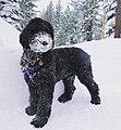 Bishop the Poodle 2.jpg