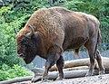 Bison-1924 (15005722562).jpg