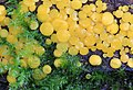 Bisporella citrina, Lemon Disco fungus, UK.jpg