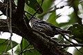 Black-and-white Warbler Sabine Woods TX 2018-04-05 13-11-05 (41470585891).jpg