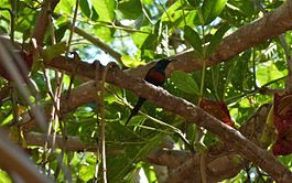 Black-bellied sunbird.jpg