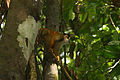 Black-crowned Central American squirrel monkey (Saimiri oerstedii oerstedii).JPG