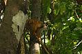 Black-crowned Central American squirrel monkey (Saimiri oerstedii oerstedii).JPG