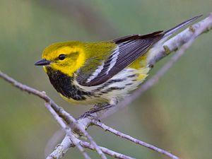 Black-throated green warbler - Quintana, Texas Male