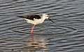 Black-winged Stilt, Common Stilt, or Pied Stilt, Himantopus himantopus at Marievale Nature Reserve, Gauteng, South Africa (23202908780).jpg