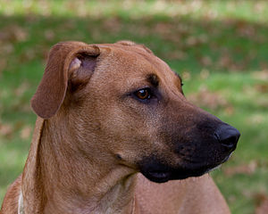 Black Mouth Cur - Portrait of a Black Mouth Cur showing the typical melanistic mask around the muzzle.