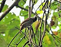 Black Antshrike Thamnophilus nigriceps female (42478233894).jpg