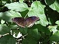 Black Butterfly Enjoying at leaves.jpg