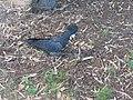 Black Cockatoo. March 2010 - panoramio.jpg