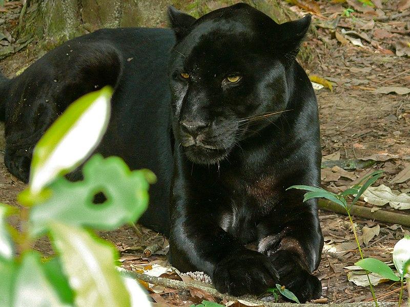 File:Black Jaguar (Panthera onca) (6766731069).jpg