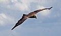 Black Kite 8a (6022389645).jpg