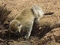 Black faced vervet monkey Chlorocebus pygerythrus in Tanzania 3107 cropped Nevit.jpg