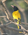 Black hooded Oriole I IMG 7935.jpg
