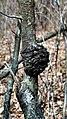 Black knot on black cherry1.jpg