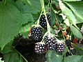Blackberries near Erlangen 1.jpg