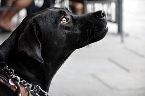 English: A black dog