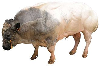 Myostatin - Belgian Blue cattle.