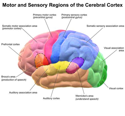 Blausen 0102 Brain Motor&Sensory
