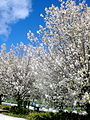 Blossoming trees at Commonwealth Place, Canberra (262606184).jpg