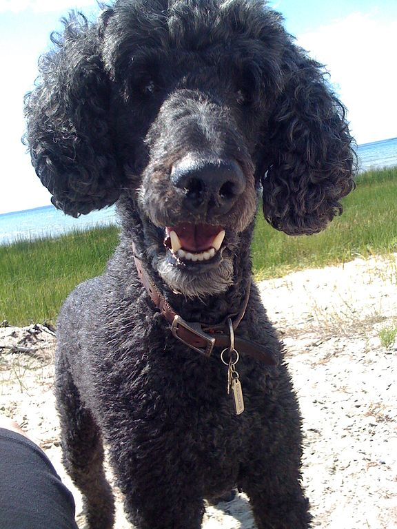 What does a blue standard poodle look like