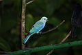 Blue-gray Tanager (Thraupis episcopus nesophilus) (4687981390) (2).jpg