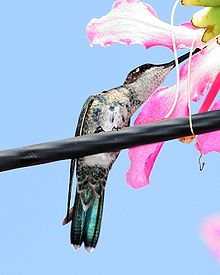 Blue-tufted Starthroat (Heliomaster furcifer).jpg