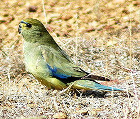 Blue-winged Parrot.jpg