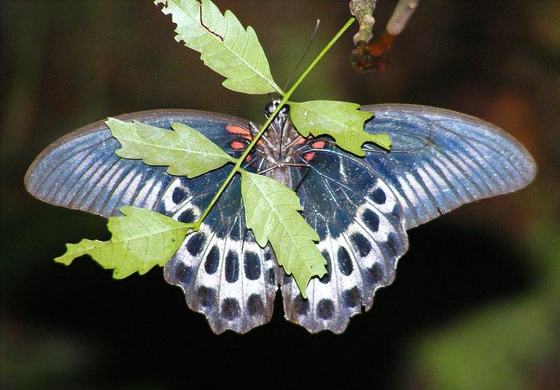File:Blue Mormon Papilio polymnestor (3986295022).jpg