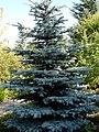 Blue Spruce (2878400510).jpg