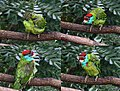 Blue throated Barbet- Preening.jpg