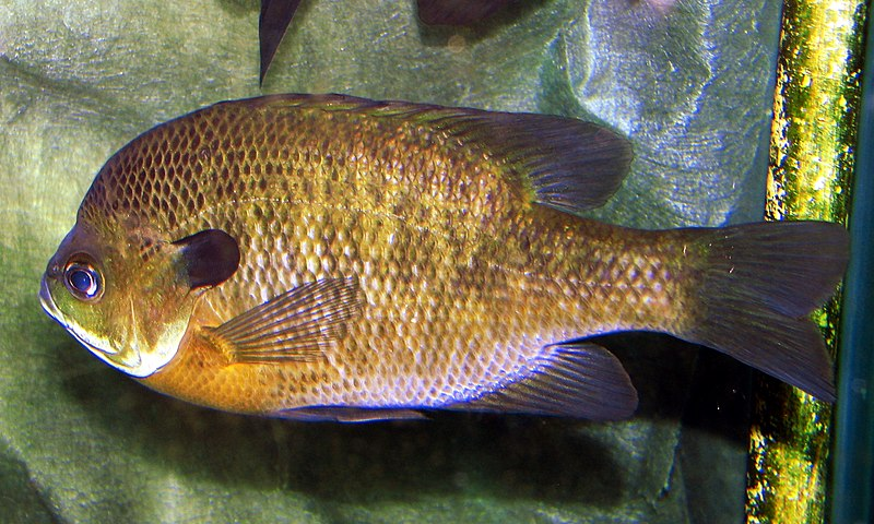 Bluegills Are Often The Easy Fish Anglers Learn On But Ones Can Be Mighty Tough To Fool Photo Courtesy Lousiville Zoo Via Wikipedia