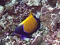 Bluegirdled angelfish (Pomacanthus navarchus) (26273044869).jpg