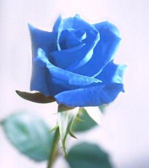 Blue flower - Blue rose