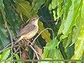 Blyth's Reed Warbler (Acrocephalus dumetorum) (42715229675).jpg