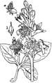 Bog - bean-Medicinal Herbs Poisonous Plants-131-76.png