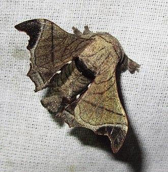 Bombyx huttoni - Image: Bombyx huttoni