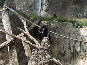 Animal cognition - The bonobo withdraws the stick and begins eating the termites.