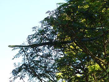 ADULT TREE SNAKE