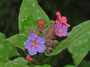 Pulmonaria officinalis - Close-up on flowers of Pulmonaria officinalis