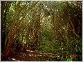 Bosque de Arrayanes, Isla Helvecia, Calbuco (2313789504).jpg