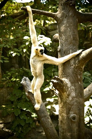 Arboreal locomotion - Gibbons are very good brachiators because their elongated limbs enable them to easily swing and grasp on to branches.