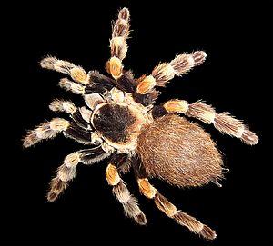 Mexican Red Knee tarantula (Brachypelma sp), a...