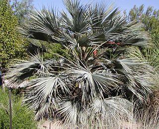 <i>Brahea armata</i> species of plant